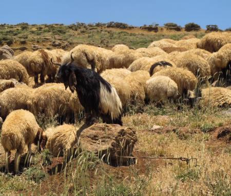mouton unique singulier groupe liban
