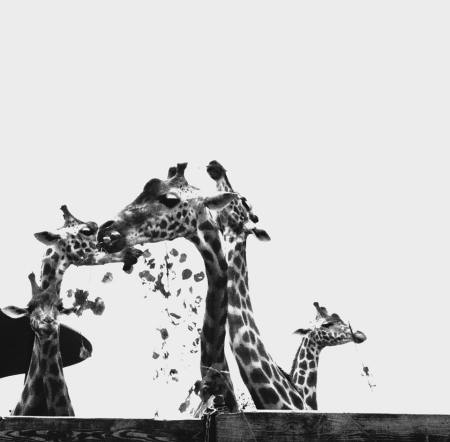 girafe animal groupe solitude